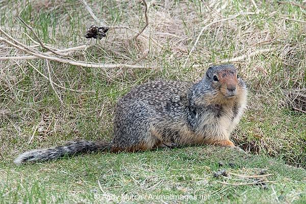Columbian Ground Squirrel 020