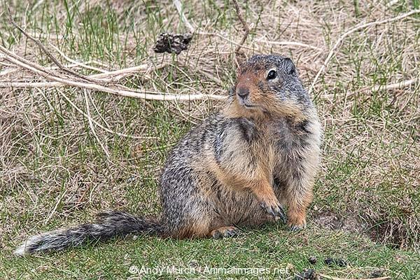 Columbian Ground Squirrel 021