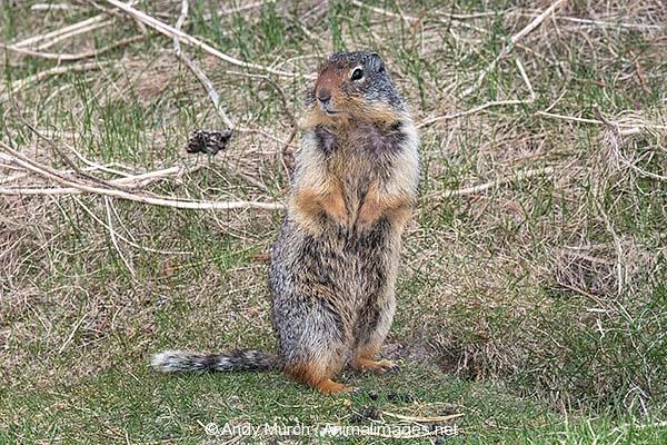 Columbian Ground Squirrel 024