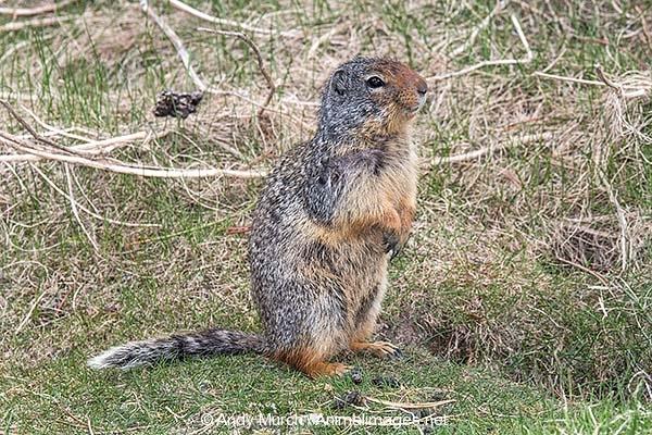Columbian Ground Squirrel 026