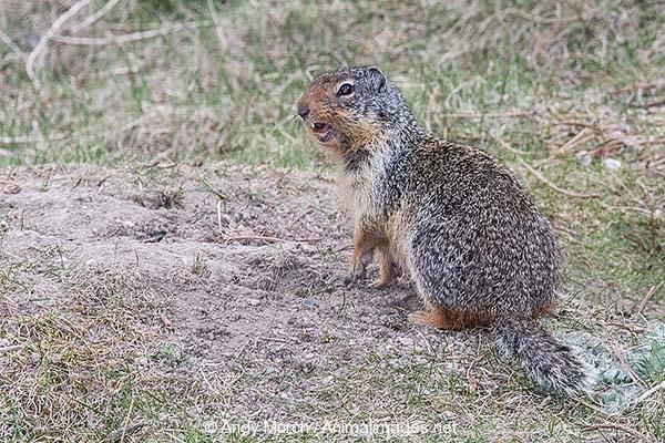 Columbian Ground Squirrel 029