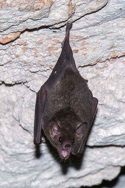 Commissaris Long-tongued Bat 012