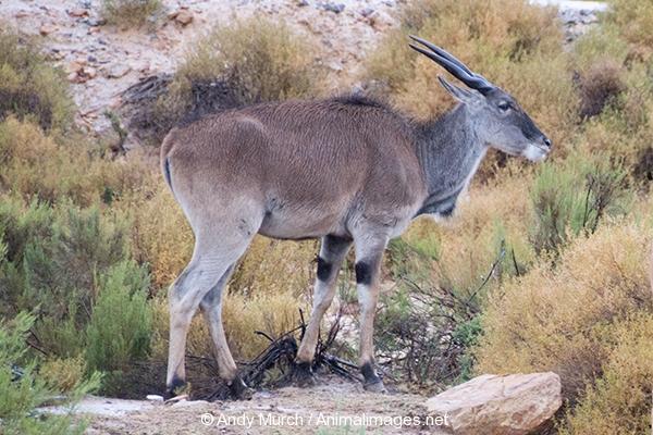 Common Eland 008