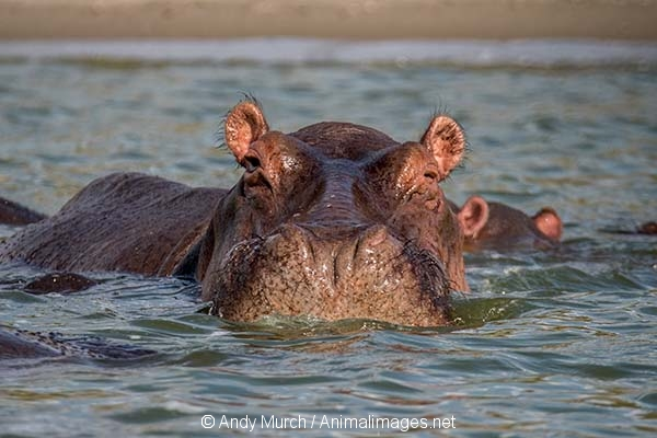 Common Hippopotamus 030