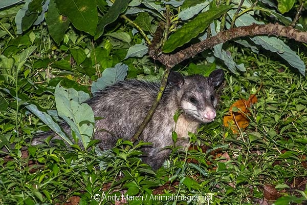 Common Opossum 003
