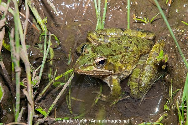 Common River Frog 001