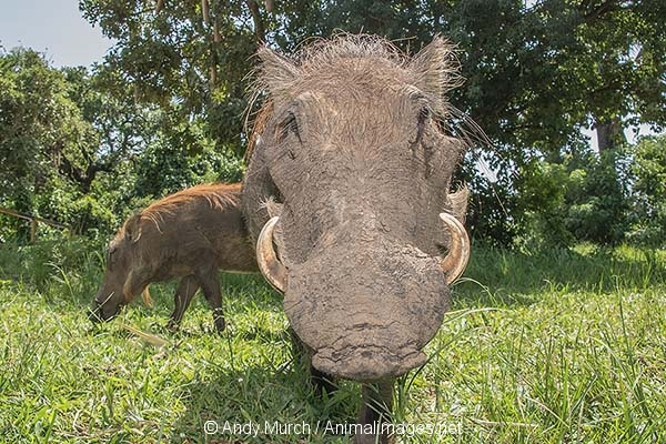 Common Warthog 023