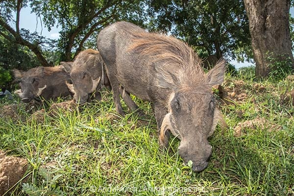 Common Warthog 027