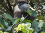 Dry Zone Purple Faced Leaf Monkey
