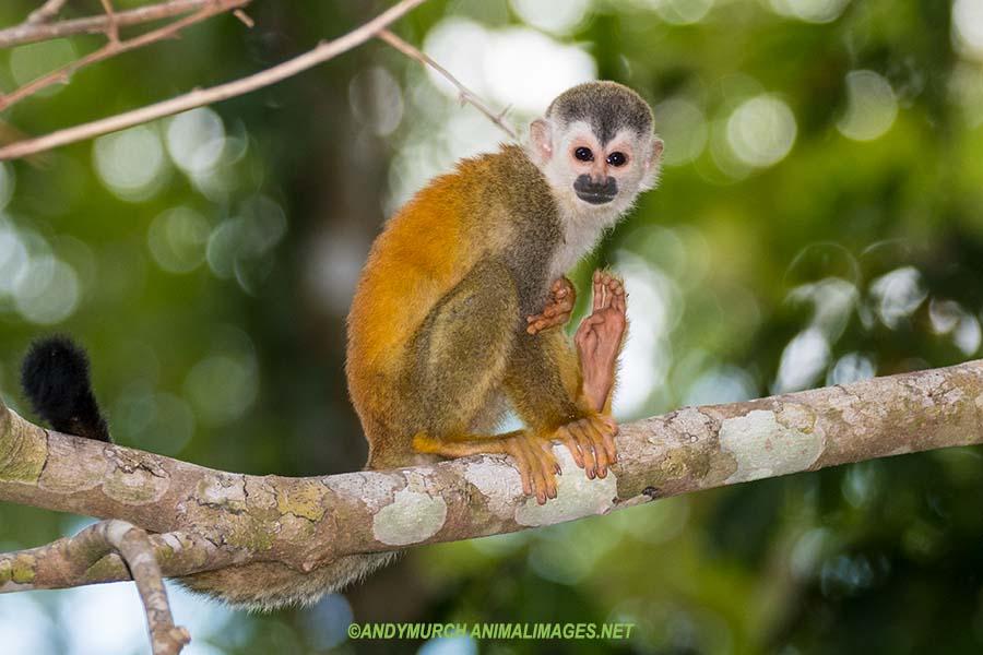 Central American Squirrel Monkey.