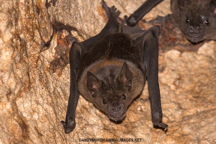 Greater Spear-nosed Bat.