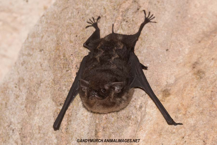 Greater White-lined Bat.