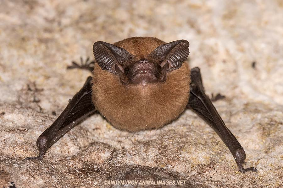 Lesser Doglike Bat.