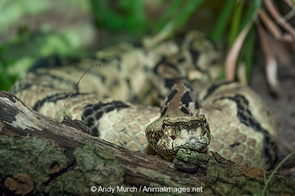 vipers � animal images