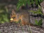 Chiricahua Fox Squirrel