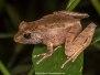 Common Madagascar Frog