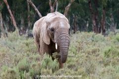 African Bush Elephant 005