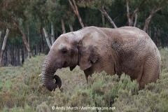 African Bush Elephant 006