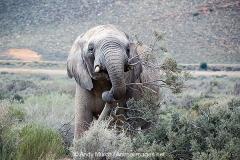 African Bush Elephant 019