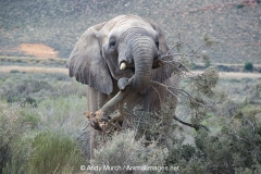 African Bush Elephant 020
