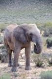 African Bush Elephant 030