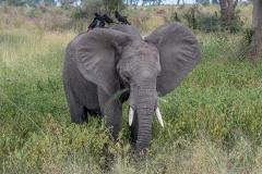 African Bush Elephant 036