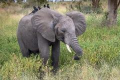 African Bush Elephant 038