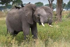 African Bush Elephant 041