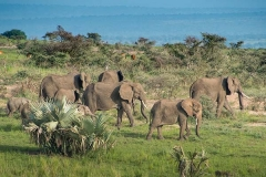 African Bush Elephant 043