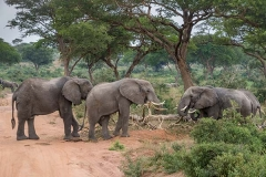 African Bush Elephant 050
