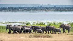 African Bush Elephant 056