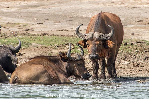 African Forest Buffalo 014