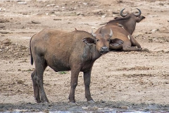 African Forest Buffalo 002