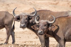African Forest Buffalo 005