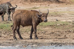 African Forest Buffalo 013