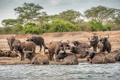 African Forest Buffalo 015