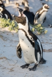African Penguin 015