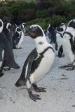 African Penguin 020