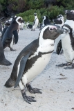 African Penguin 021