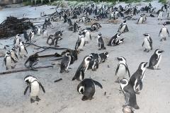 African Penguin 022