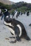 African Penguin 033