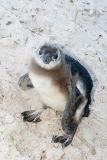 African Penguin 035