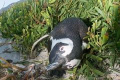 African Penguin 040