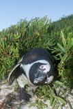 African Penguin 041