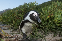 African Penguin 042