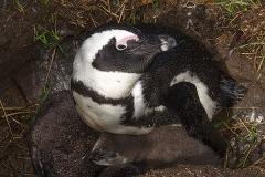 African Penguin 054