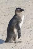 African Penguin 064