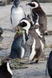 African Penguin 086