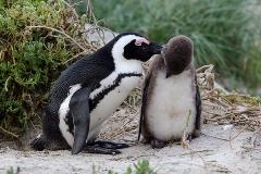 African Penguin 109