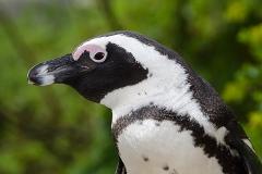 African Penguin 117